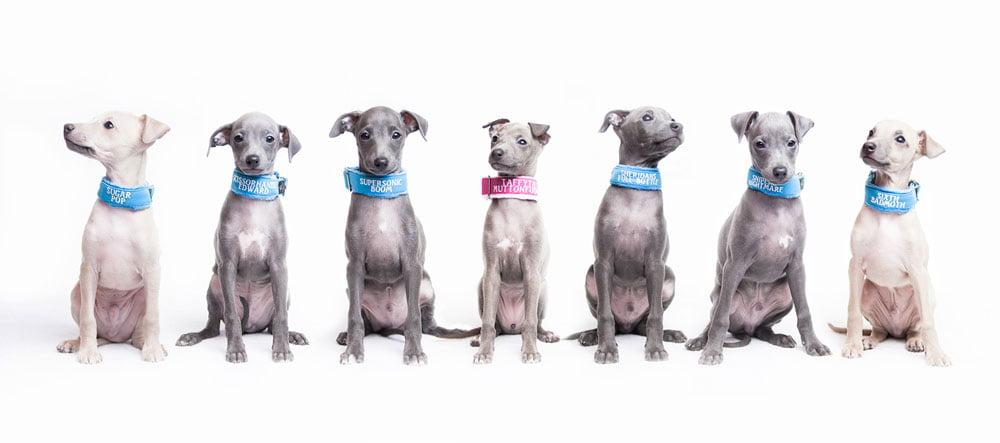 italian greyhound kennel