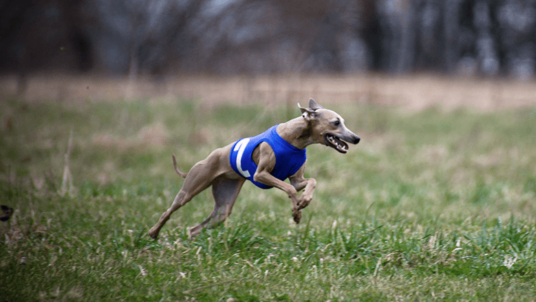 italian sighthound coursing