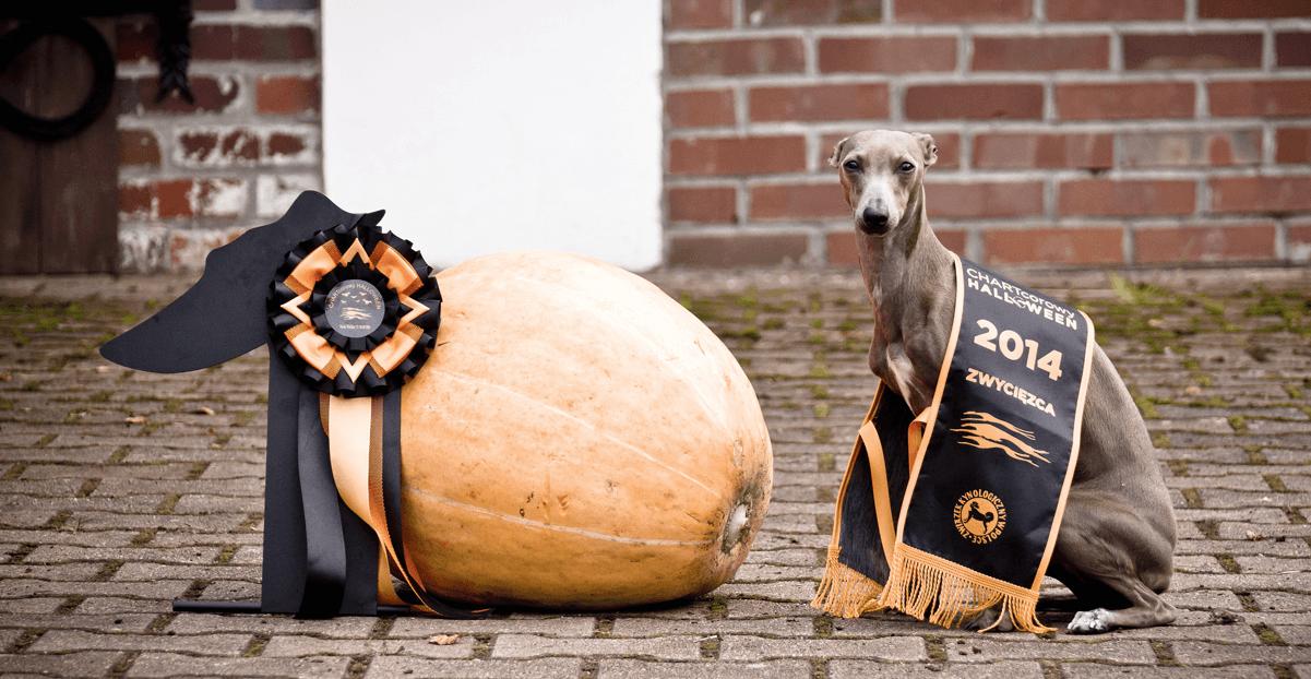 italian greyhound breeder