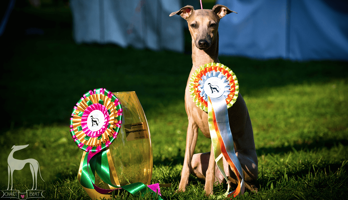 italian sighthound