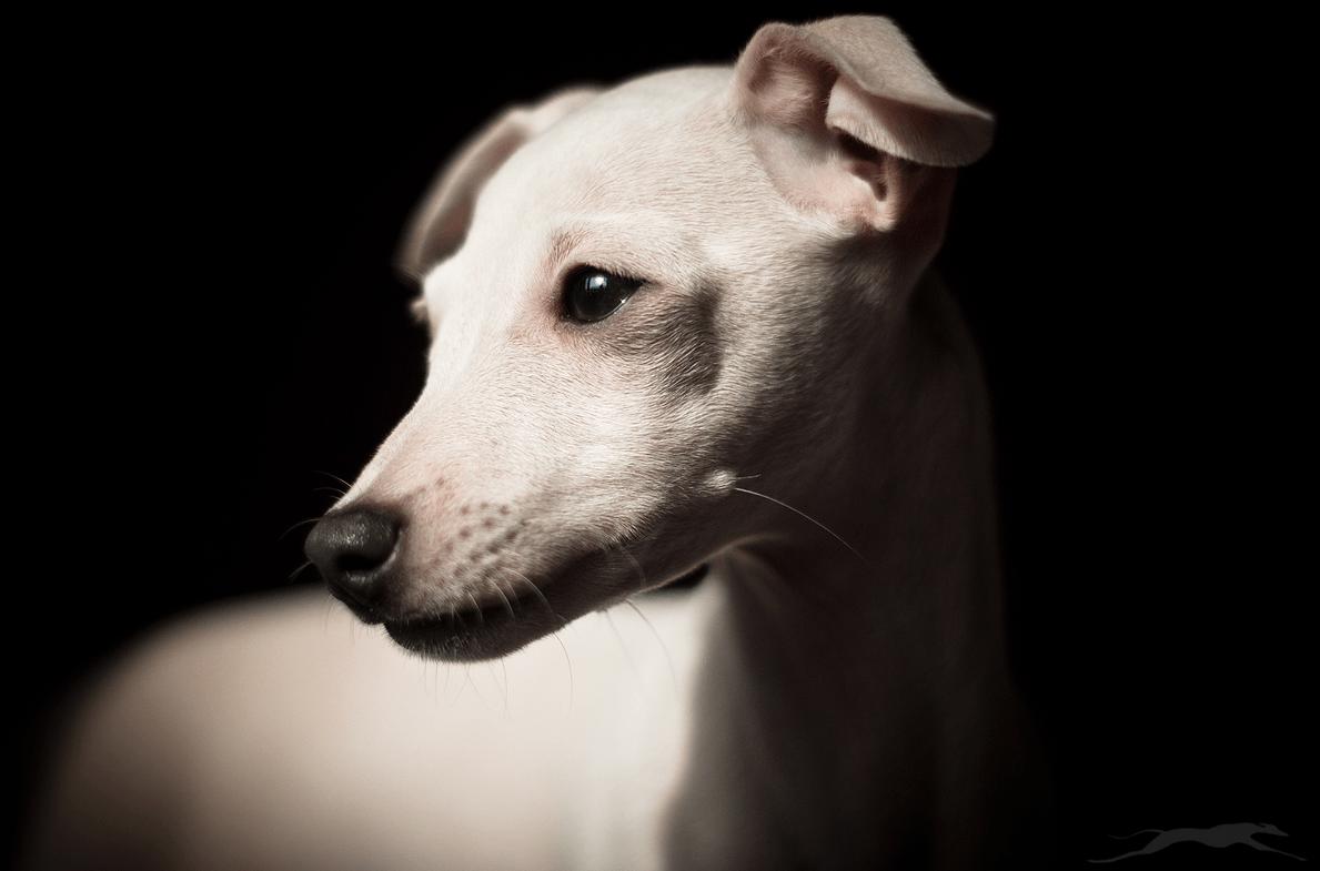 italian sighthound kennel