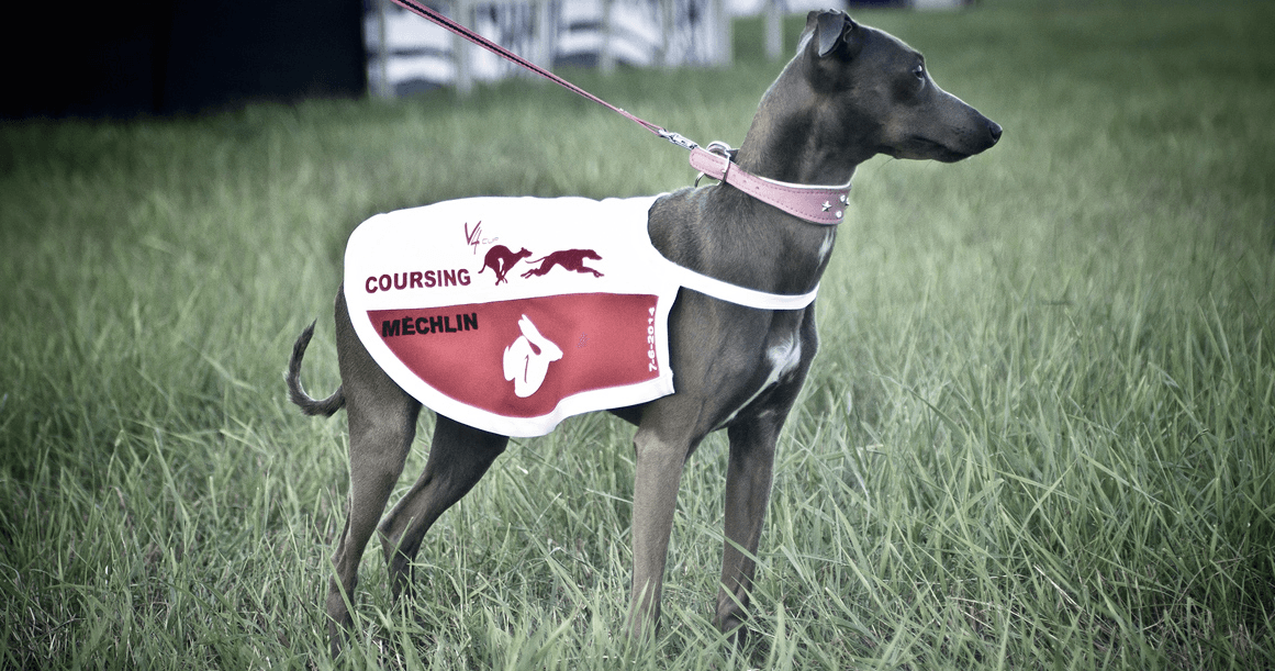 italian greyhound racing