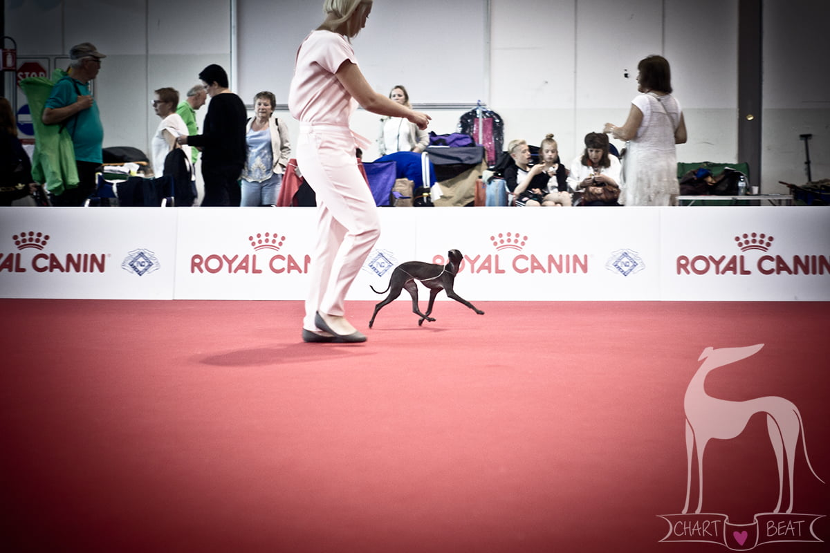 world dog show italian greyhound