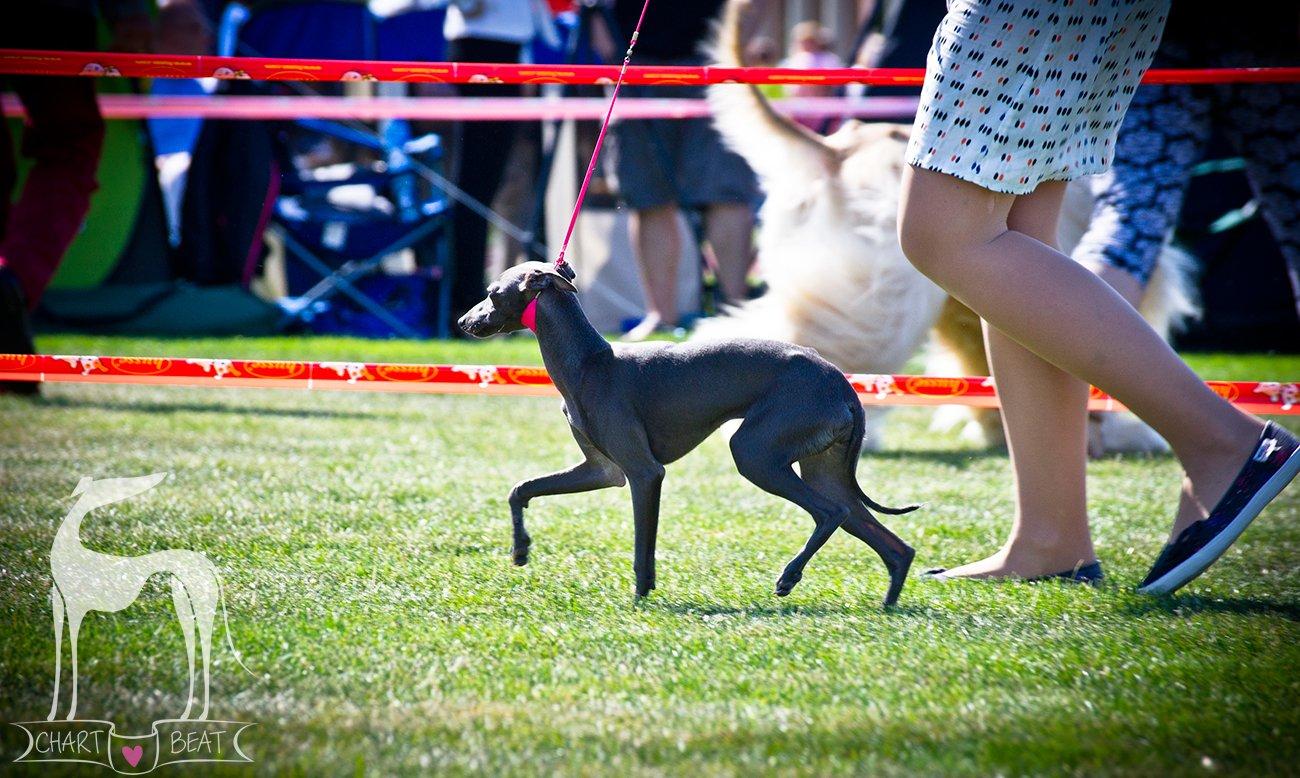 Sighthound Club Show