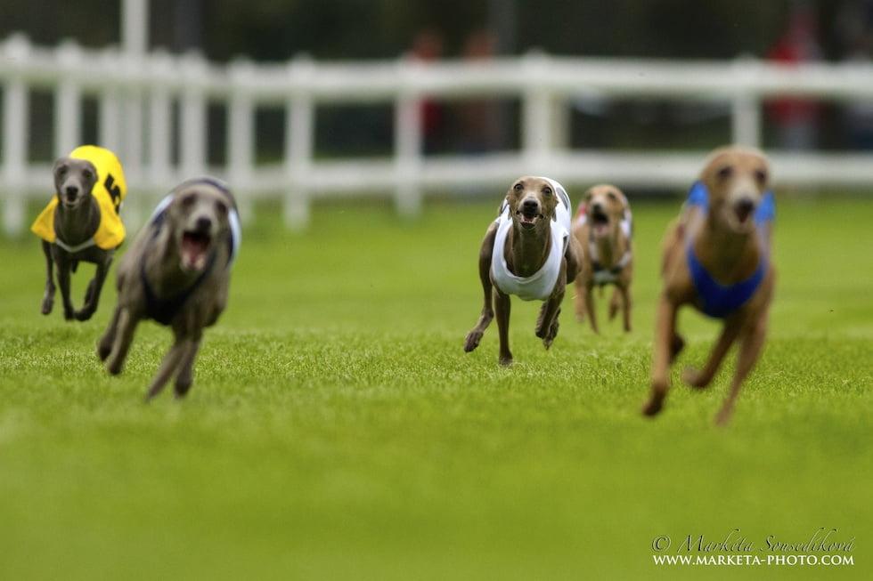 racing italian greyhound