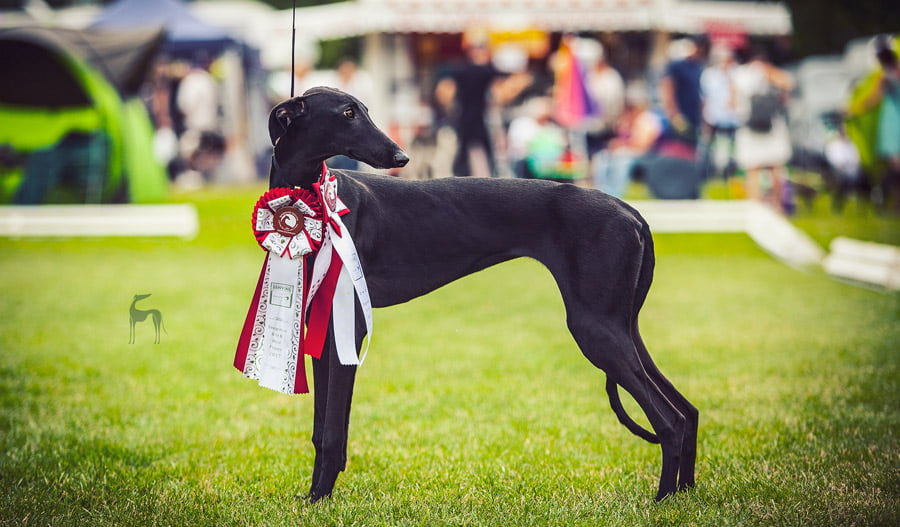 galgo espanol Donaueschingen Sighthound Festival